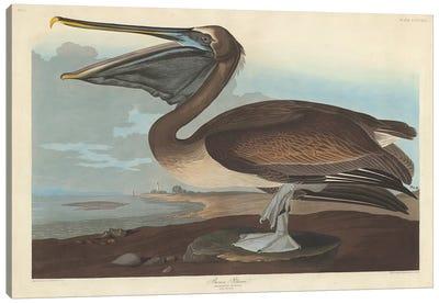Brown Pelican Canvas Art Print