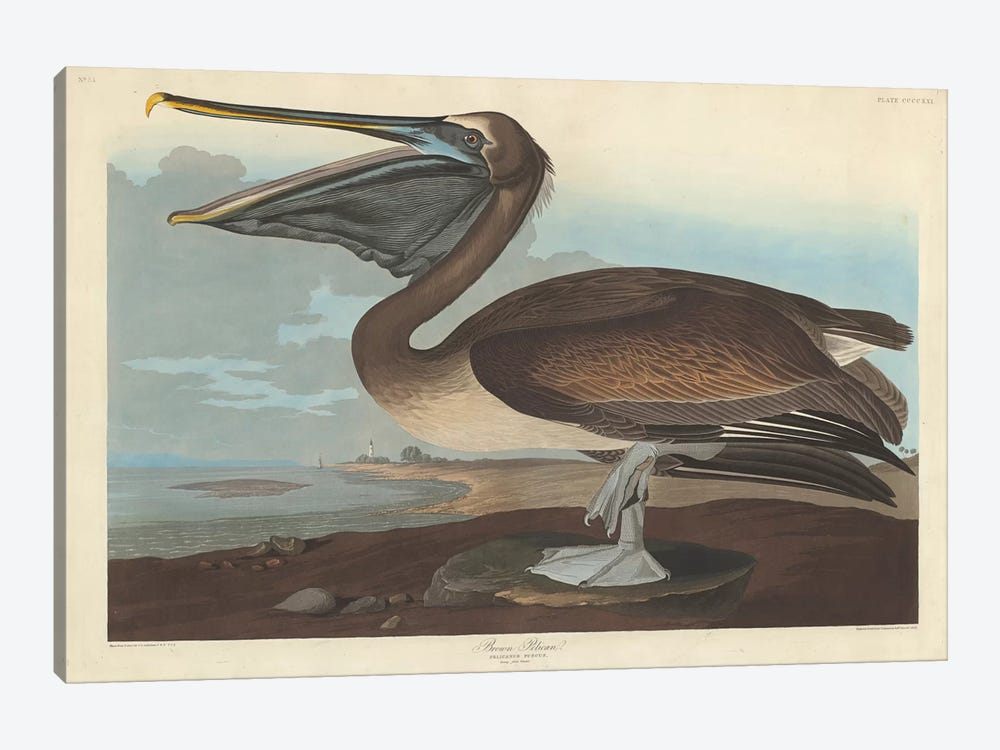 Brown Pelican by John James Audubon 1-piece Canvas Print