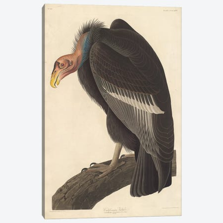 Californian Vulture Canvas Print #BMN6722} by John James Audubon Canvas Artwork