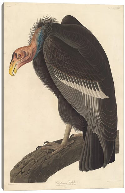 Audubon's Birds Of America Series: Californian Vulture Canvas Print #BMN6722