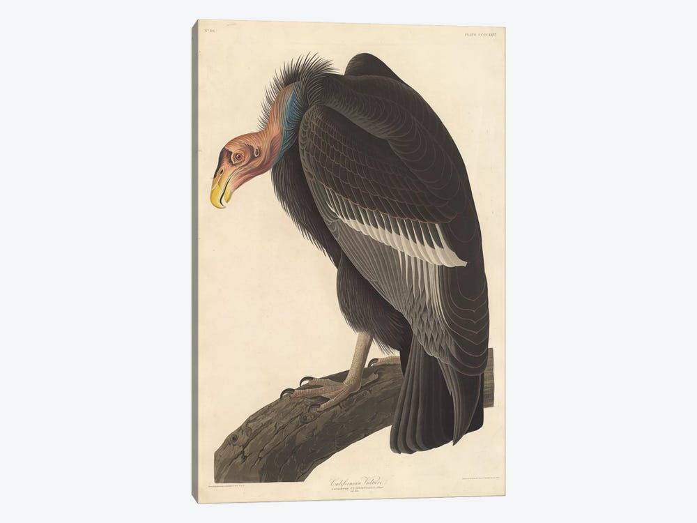 Californian Vulture by John James Audubon 1-piece Canvas Artwork