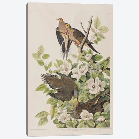 Carolina Turtle Dove & Virginia Stewartia Canvas Print #BMN6723} by John James Audubon Canvas Artwork