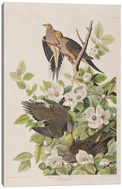 Carolina Turtle Dove & Virginia Stewartia Canvas Art Print