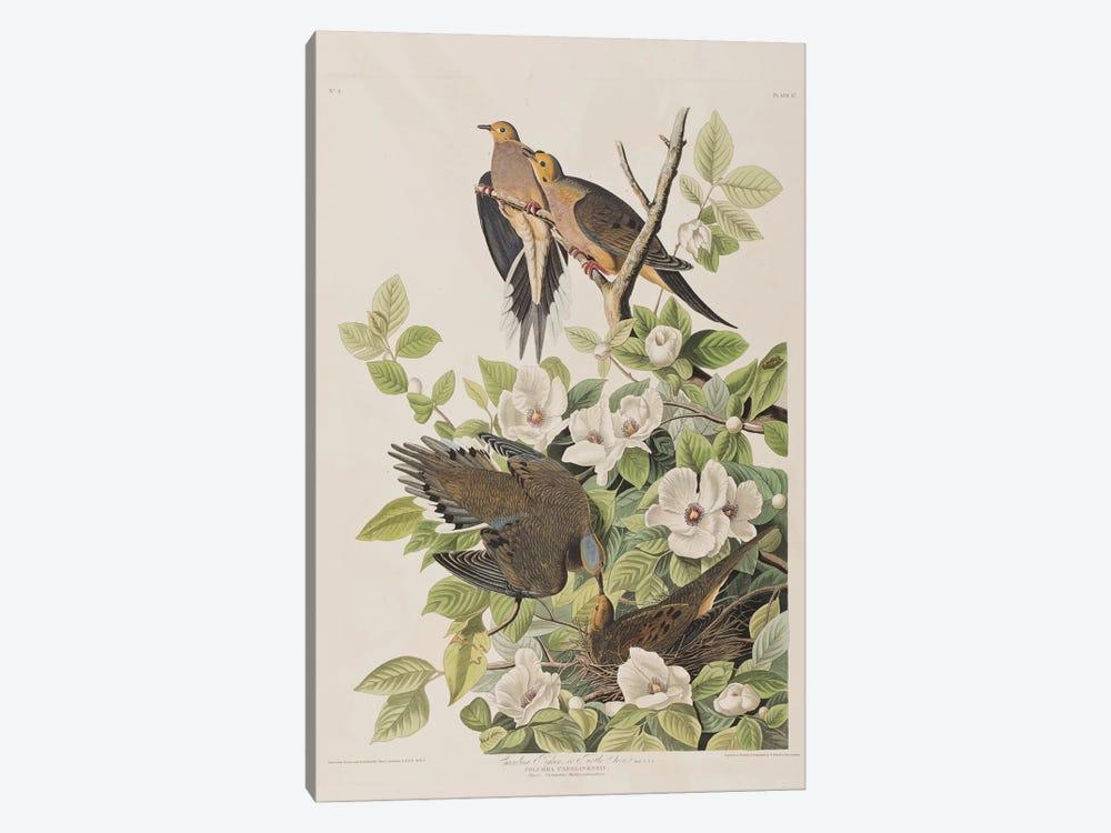 Carolina Turtle Dove & Virginia Stewartia by John James Audubon 1-piece Art Print