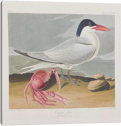 Audubon's Birds Of America Series: Cayenne Tern Canvas Print #BMN6724