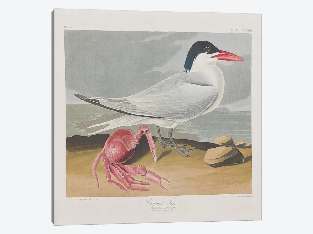Cayenne Tern by John James Audubon 1-piece Canvas Art