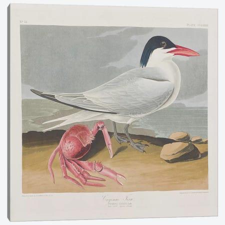 Cayenne Tern Canvas Print #BMN6724} by John James Audubon Canvas Print