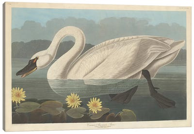 Common American Swan & Nymphea Mexicana (Banana Waterlily) Canvas Art Print