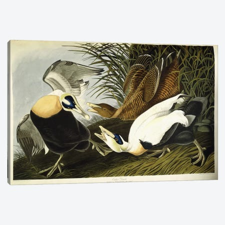Eider Duck Canvas Print #BMN6726} by John James Audubon Canvas Art Print