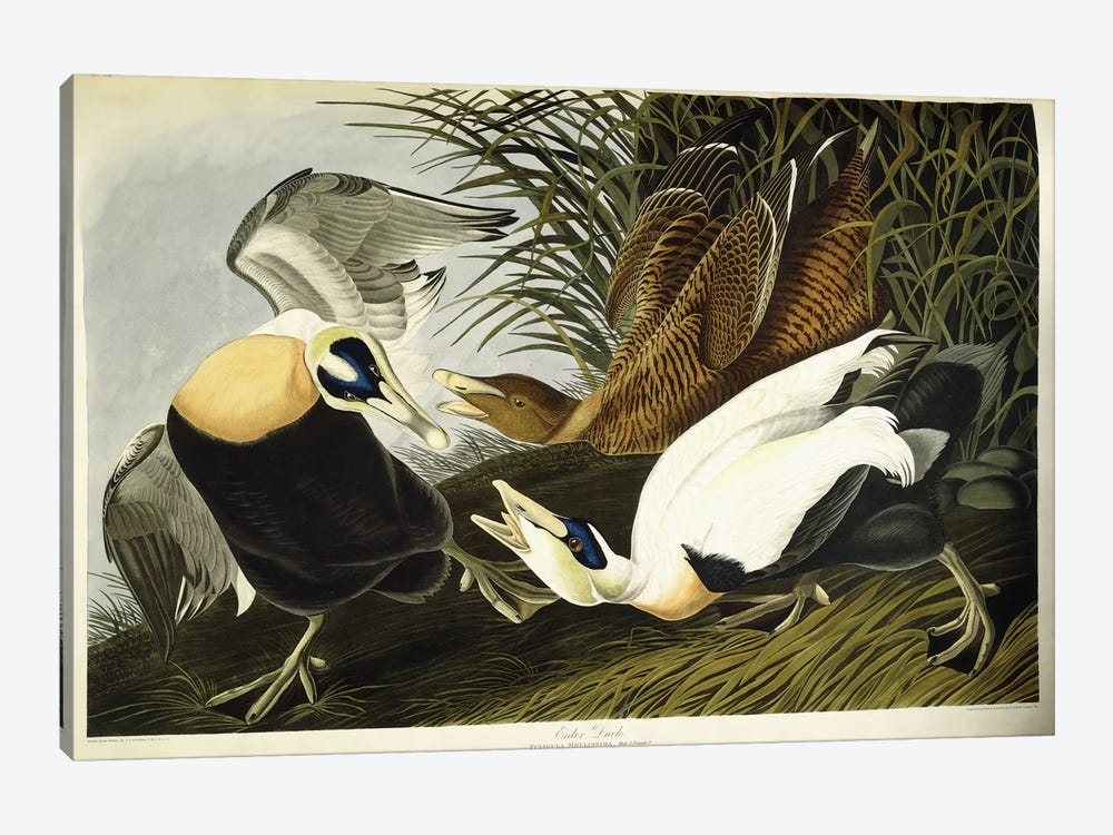 Eider Duck by John James Audubon 1-piece Canvas Wall Art