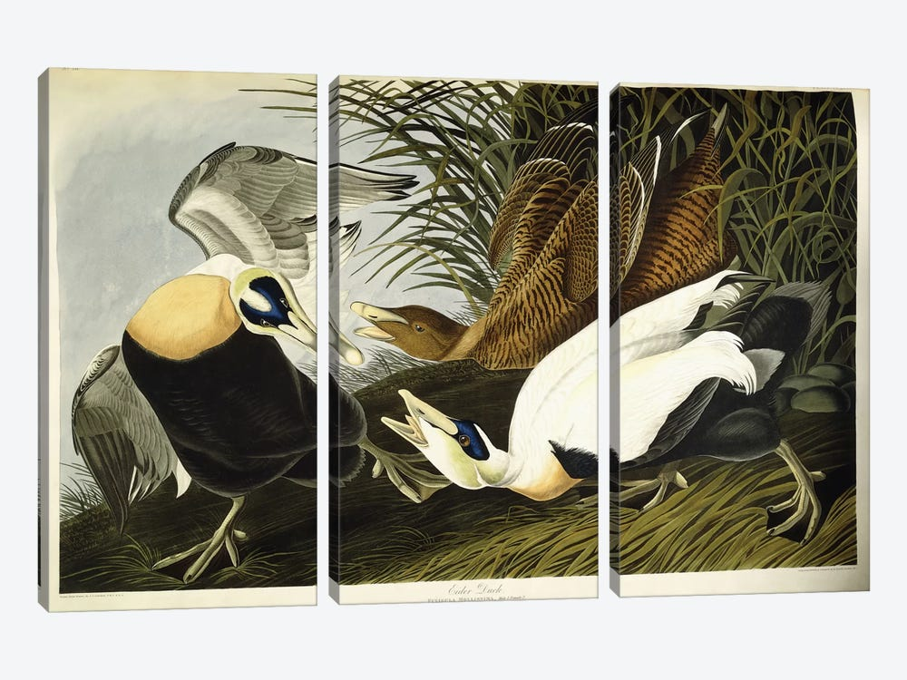 Eider Duck by John James Audubon 3-piece Canvas Art
