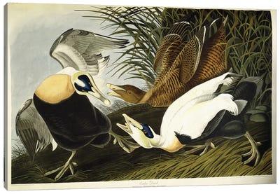 Eider Duck Canvas Art Print