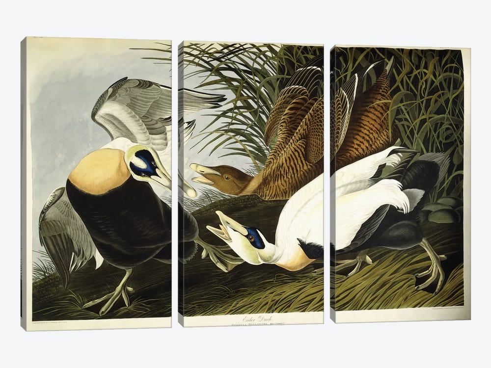 Eider Duck by John James Audubon 3-piece Canvas Art