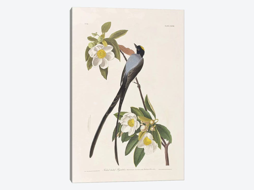 Forked-Tailed Flycatcher & Gordonia 1-piece Canvas Art