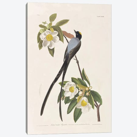 Forked-Tailed Flycatcher & Gordonia Canvas Print #BMN6728} by John James Audubon Canvas Art