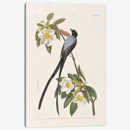 Forked-Tailed Flycatcher & Gordonia Canvas Print #BMN6728} by John James Audubon Canvas Art
