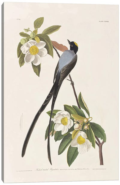 Forked-Tailed Flycatcher & Gordonia Canvas Art Print