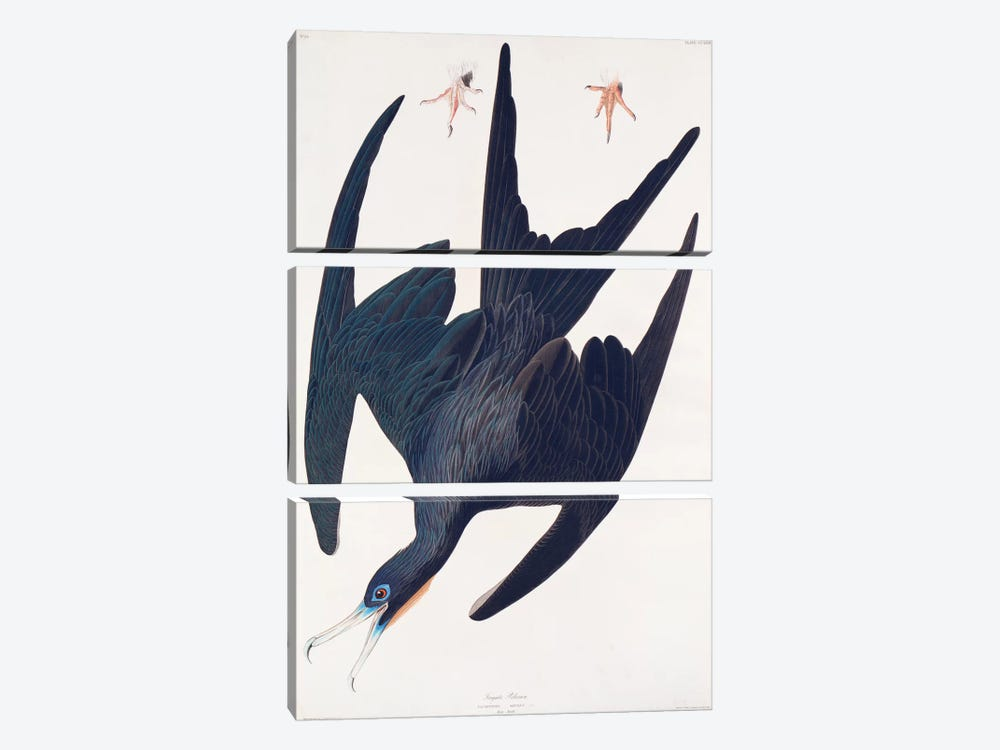 Frigate Pelican by John James Audubon 3-piece Canvas Print