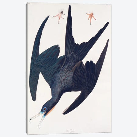 Frigate Pelican Canvas Print #BMN6729} by John James Audubon Canvas Artwork