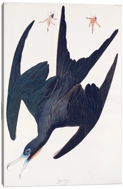 Audubon's Birds Of America Series: Frigate Pelican Canvas Print #BMN6729