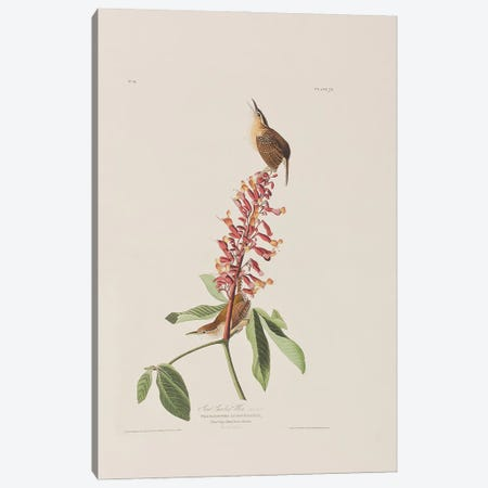 Great Carolina Wren & Red Buckeye Canvas Print #BMN6731} by John James Audubon Canvas Print