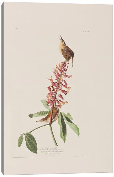 Great Carolina Wren & Red Buckeye Canvas Art Print