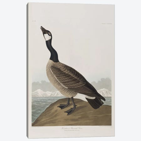 Hutchins's Barnacle Goose Canvas Print #BMN6733} by John James Audubon Art Print