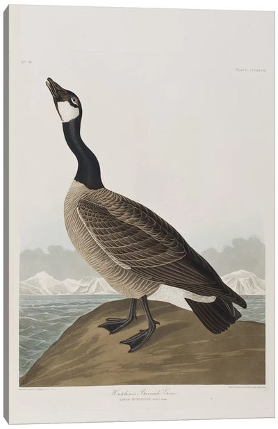 Hutchins's Barnacle Goose Canvas Art Print