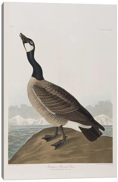 Hutchins's Barnacle Goose Canvas Art Print