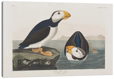 Audubon's Birds Of America Series: Large-Billed Puffin Canvas Print #BMN6734
