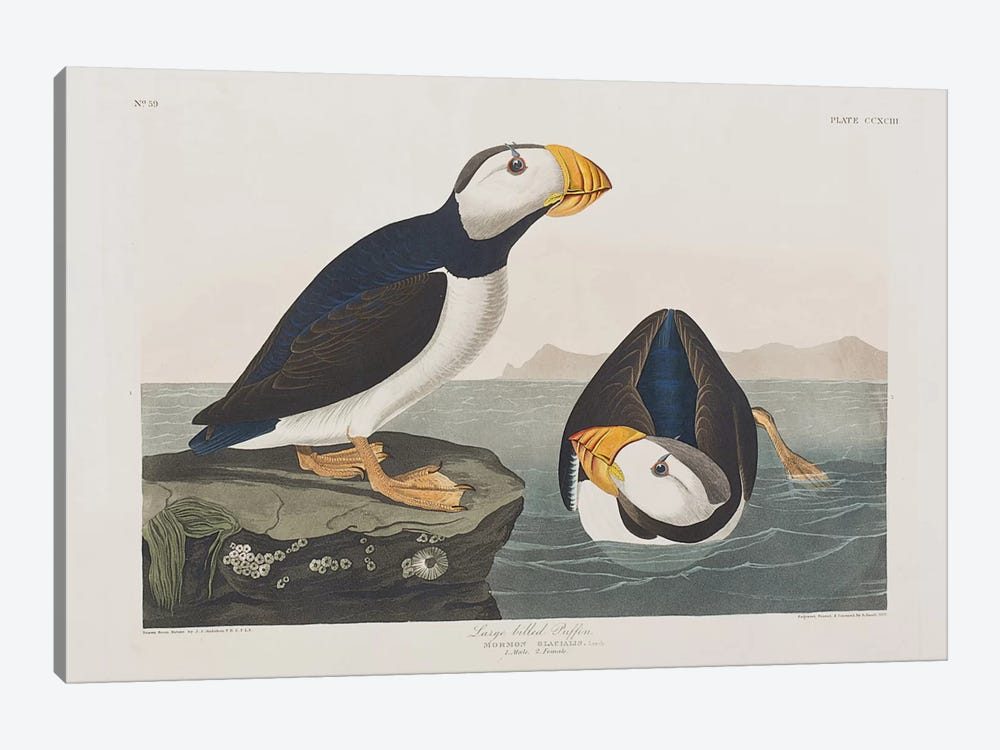 Large-Billed Puffin 1-piece Art Print