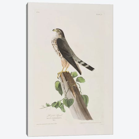 Le Petit Caporal Canvas Print #BMN6735} by John James Audubon Canvas Wall Art
