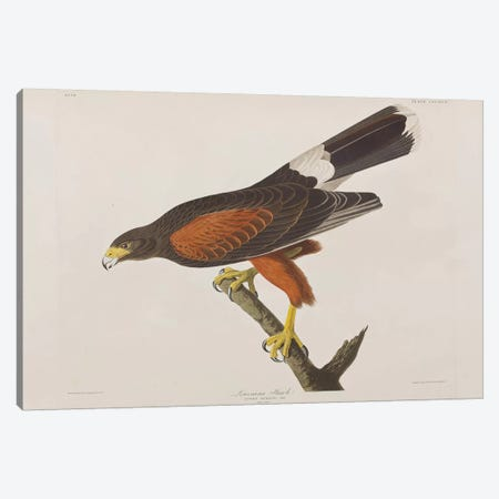 Louisiana Hawk Canvas Print #BMN6736} by John James Audubon Canvas Art