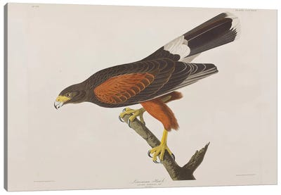 Louisiana Hawk Canvas Art Print