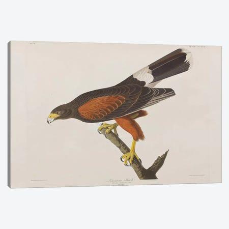 Louisiana Hawk Canvas Print #BMN6736} by John James Audubon Canvas Art