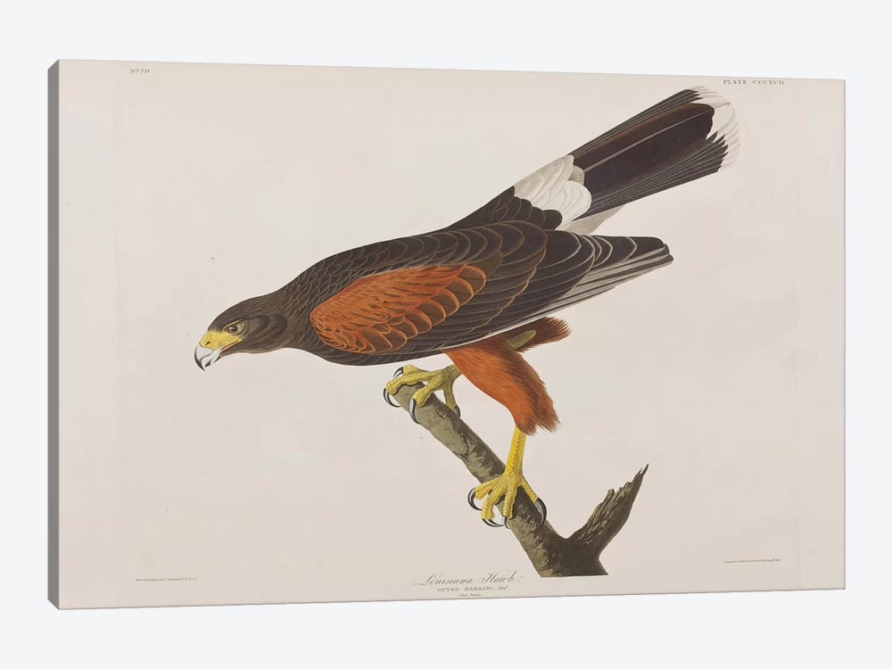 Louisiana Hawk by John James Audubon 1-piece Canvas Art Print
