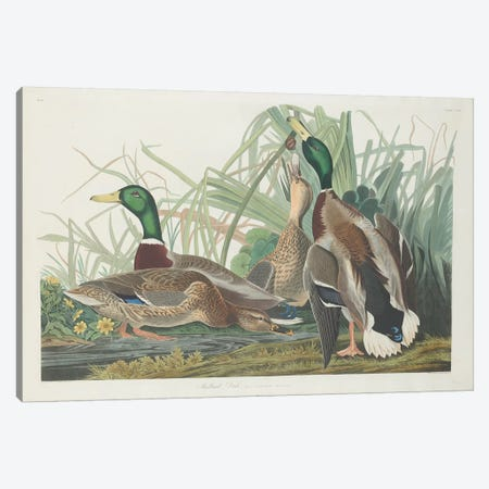 Mallard Duck Canvas Print #BMN6737} by John James Audubon Canvas Artwork