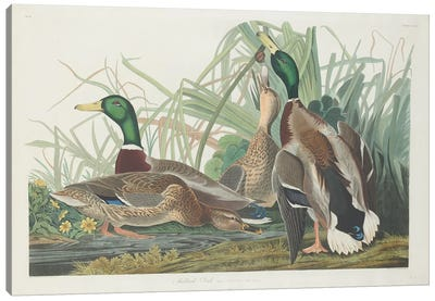 Audubon's Birds Of America Series: Mallard Duck Canvas Print #BMN6737
