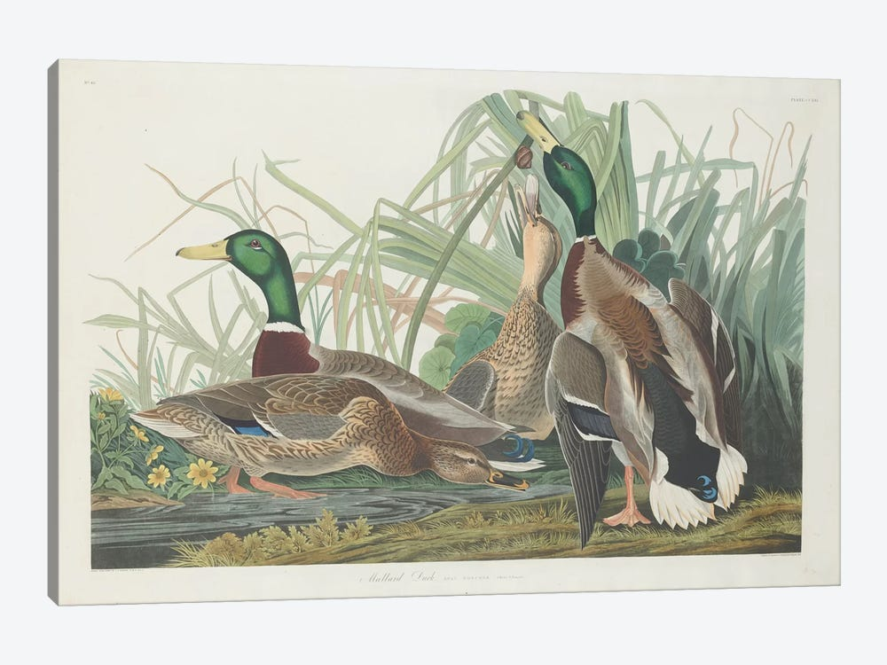 Mallard Duck 1-piece Canvas Wall Art