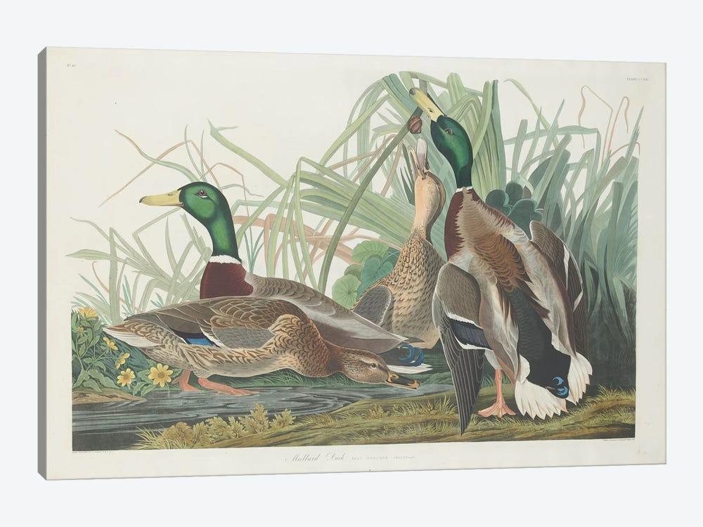 Mallard Duck by John James Audubon 1-piece Canvas Wall Art