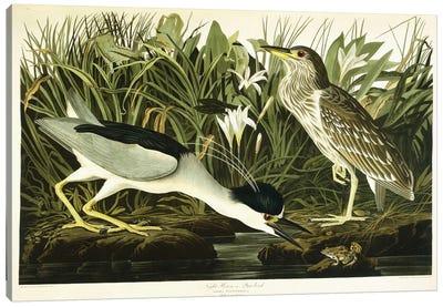 Night Heron (Qua Bird) Canvas Art Print