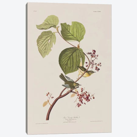 Pine Swamp Warbler & Hobble Bush Canvas Print #BMN6740} by John James Audubon Canvas Wall Art