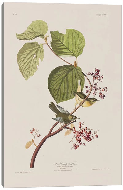 Pine Swamp Warbler & Hobble Bush Canvas Art Print