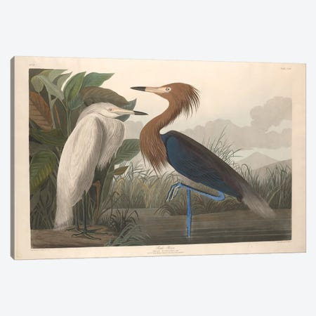 Purple Heron Canvas Print #BMN6742} by John James Audubon Canvas Wall Art