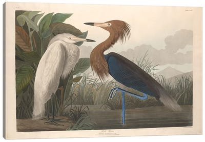 Purple Heron Canvas Art Print