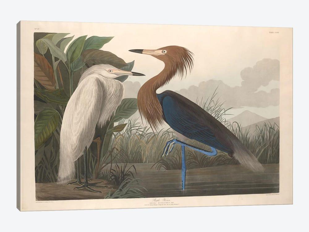 Purple Heron by John James Audubon 1-piece Canvas Art