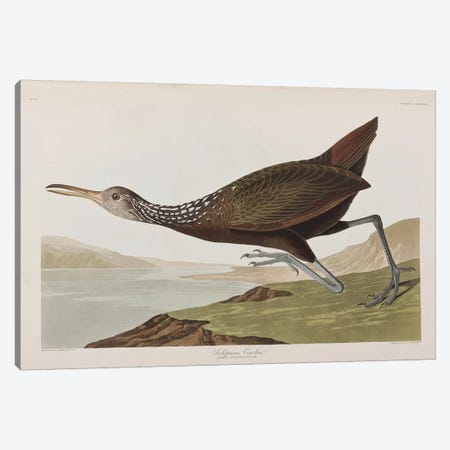 Scolopaceus Courlan Canvas Print #BMN6744} by John James Audubon Art Print