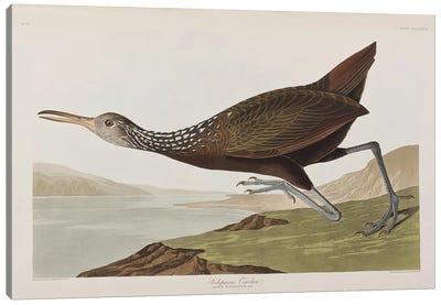 Scolopaceus Courlan Canvas Art Print