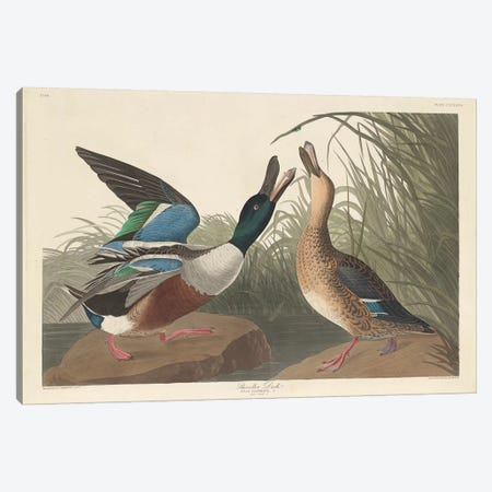 Shoveller Duck Canvas Print #BMN6746} by John James Audubon Canvas Print