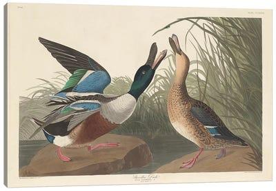 Shoveller Duck Canvas Art Print